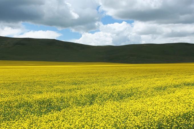 可爱的羊群给寂静辽阔的大草原带来一片生机勃勃