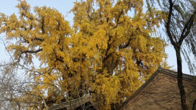 白塔寺介绍 宝殿后面就是中国第一银杏树