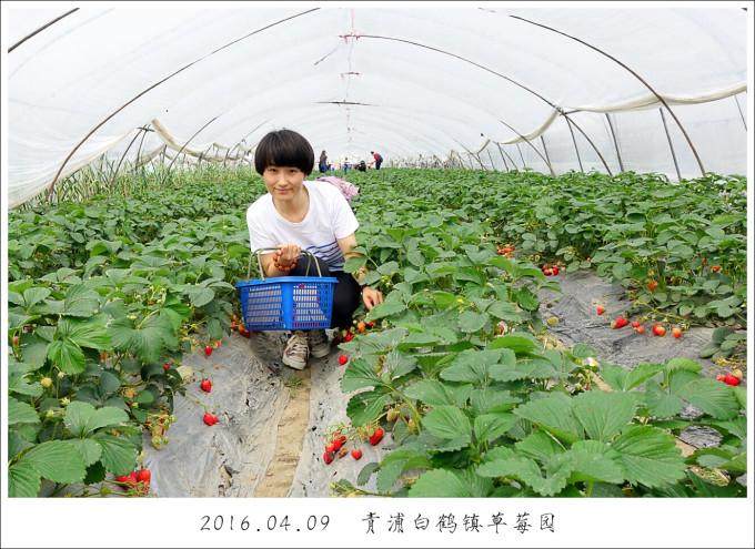 上海青浦白鹤镇草莓采摘一日游