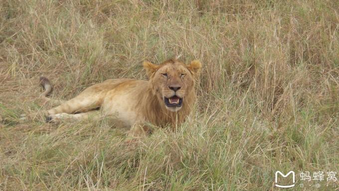 卧着的狮子 矢量图
